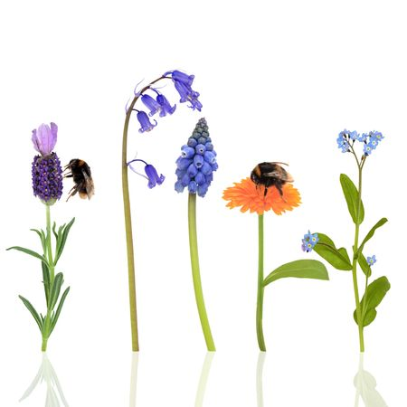 Bumble bees on marigold and lavender flowers with a bluebell, forget me knot and grape hyacinth, over white background. photo