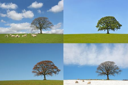 lapse: Oak tree in the four seasons, spring, summer, autumn and winter, showing a time lapse of the annual cycle.