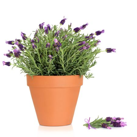 flower pots: Lavender herb plant in flower growing in a  terracotta pot, with flower sprig, over white background.