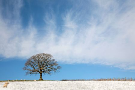 Oak tree in a field in winter with snow and sheep grazing, with a fence and blue sky with clouds to the rear. Stock Photo - 5723521