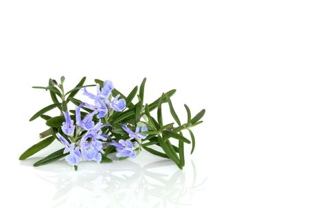 Rosemary herb leaf in flower  over white background. photo
