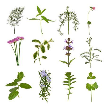 medicinal plants: Flores de hierba y selecci�n de ramita de hoja, sobre fondo blanco.  Foto de archivo