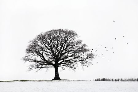 lonely bird: Oak tree in a field of snow in winter with a flock of birds, against a white sky background. Stock Photo