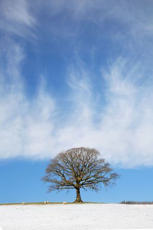 Oak tree in a field in winter with snow and sheep grazing and a blue sky with clouds to the rear. Stock Photo - 5957997