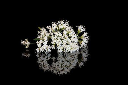 valerian: Valeriana erba fiori, alternativi sostituiscono la droga vallium, su sfondo nero con la riflessione.