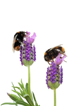 pollination: Lavender herb flowers with two bumble bees gathering pollen, over white background.