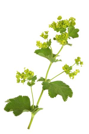 lady's mantle: Ladys mantle herb with flowers, isolated over white background. Alchemilla mollis. Stock Photo