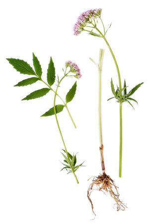 sedative: Valerian herb leaf, flower and root, isolated over white background. Modern day alternative equivalent is valium.