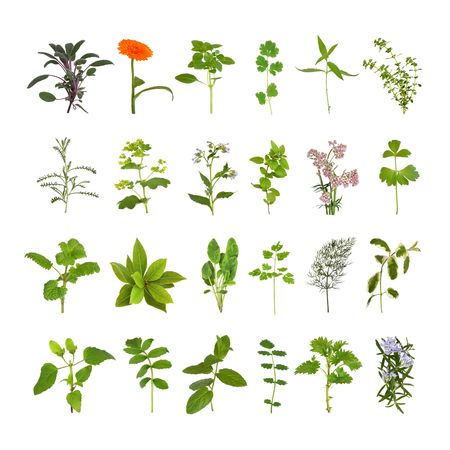 ladys mantle: Medicinal and culinary herb flower and leaf selection, isolated over white background.