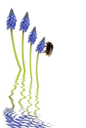 grey water: Grape hyacinth flowers and bumblebee abstract with reflection in rippled grey water, over white background Stock Photo
