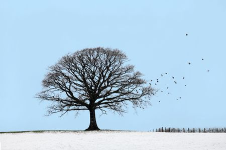 alone bird: Oak tree in a field of snow in winter with a flock of starling birds, against a blue sky. Stock Photo