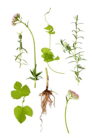 Valerian flowers and roots with lavender herb and hop leaves, isolated over white background. Plants for curing insomnia, valium alternative. Stock Photo