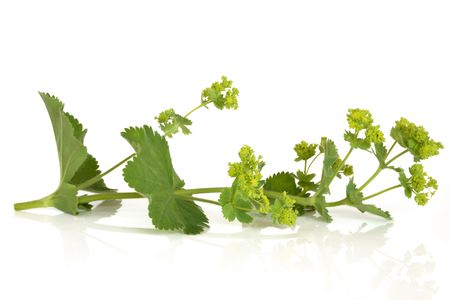 alchemilla: Ladys manto erbe in fiore, isolato su sfondo bianco. Alchemilla vulgaris.