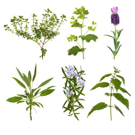 lady's: Herb leaf selection of thyme, lavender, ladys mantle, sage, rosemary and nettle, isolated over white background. Stock Photo