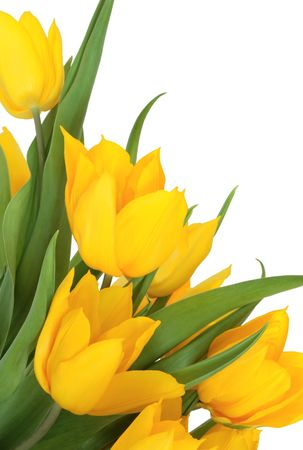 Yellow tulip flowers, isolated over white background. Stock Photo - 6531326