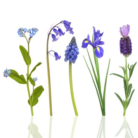 Selection of blue flowers in spring, isolated over white background with reflection. Stock Photo