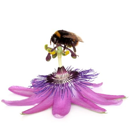 Passion flower, purple rain, with bumblebee gathering pollen from the stamens, isolated over white background. Passiflora. photo