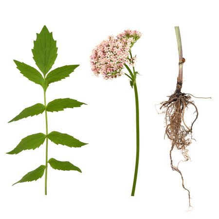 valerian plant: Valerian herb leaf, flower and root, over white background. Modern day alternative equivalent to valium acting as a tranquiliser.