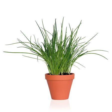 cebollin: Cebollino hierba planta que crece en una olla de barro, aislado, sobre fondo blanco.
