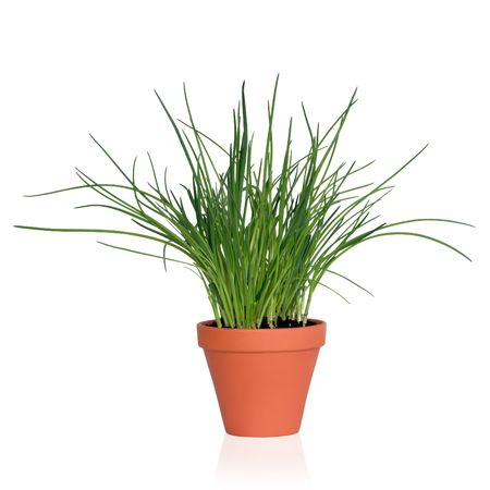 chives: Chive herb plant growing in a terracotta pot, isolated, over white background.