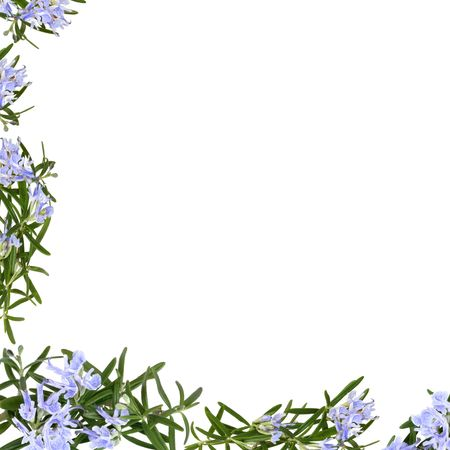 Rosemary herb flowers forming an abstract frame isolated over white background. Stock Photo