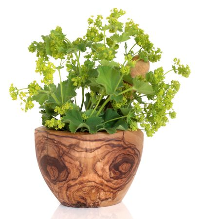 alchemilla: Ladys mantle herb with  flowers in an olive wood mortar with pestle, over white background. Alchemilla vulgaris.