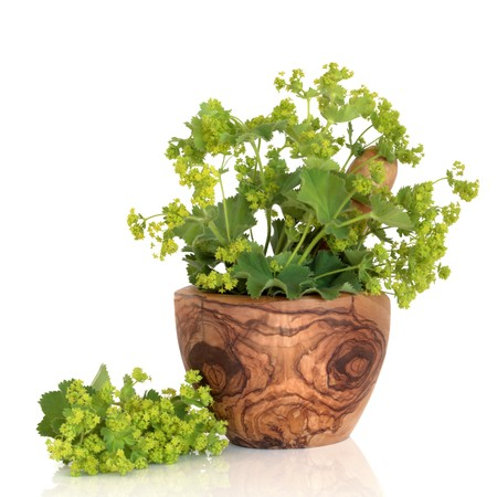 alchemilla: Ladys mantle herb in an olive wood mortar with pestle and leaf and flower sprig, isolated over white background with reflection. Alchemilla vulgaris. Stock Photo