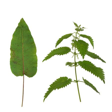 formic: Dock leaf and stinging nettle isolated over white background. Nettle stings can be cured by rubbing a dock leaf onto the sting. Stock Photo