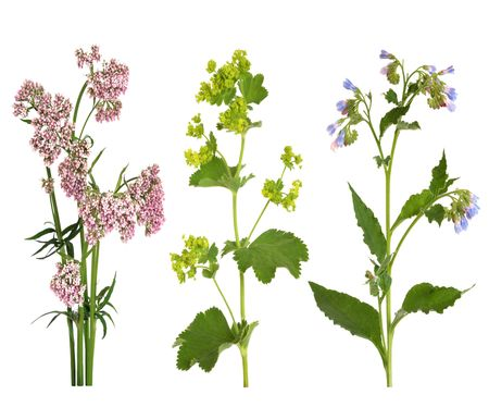 Valerian, ladys mantle  and comfrey herbs in flower, isolated over white background.
