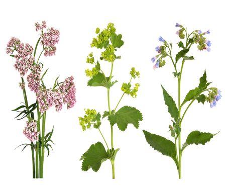 valerian: Valeriana, ladys mantello e consolida le erbe in fiore, isolato su sfondo bianco. Archivio Fotografico