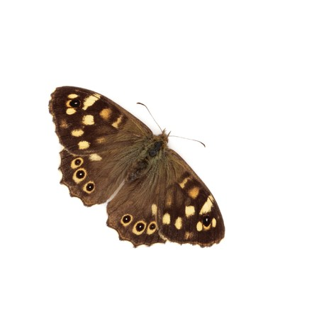 speckled wood: Speckled wood butterfly isolated over white background. Pararge  aegeria.