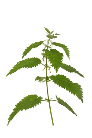 formic: Stinging nettle isolated over white background. Urtica dioica. Stock Photo