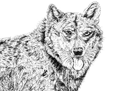 German shepherd alsatian dog over white background. Pen and ink hand drawn illustration by Marilyn Barbone. Stock Illustration - 7380589