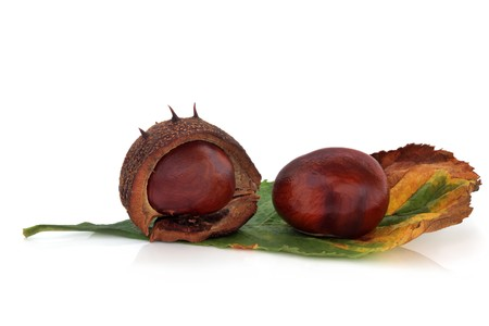 Conkers whole with one in a husk  with leaf, isolated over white background with reflection. Castanea. photo