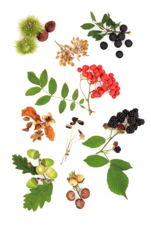 Wild autumn  harvest produce of oak leaf and acorns, blackberry, rowan berry, sloe blackthorn berries and conkers, mushrooms, beech nuts, hazelnuts and seeds, isolated over white background. photo