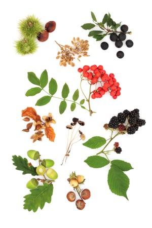 eberesche: Wild Herbst Ernte produzieren der Eiche Leaf und Eicheln, Blackberry, Rowan Berry, Sloe Blackthorn Beeren und Conkers, Pilze, Bucheckern, Haseln�sse und Samen, isolated over white Background.