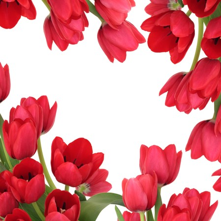 Tulip flowers forming an abstract border, isolated over white background with copy space. Stock Photo - 7903211