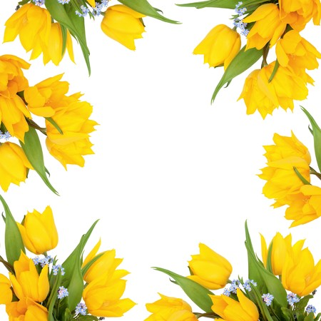 Yellow tulip and blue forget me knot flowers forming an abstract frame, isolated over white background. photo