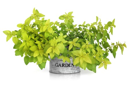 Golden marjoram in a distressed aluminum metal pot with the word garden printed on it, isolated over white background. Origanum marjorana. photo
