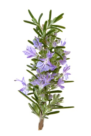 Rosemary herb leaf sprig in flower isolated over white background. Stock Photo