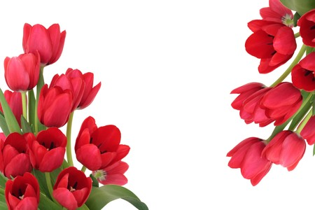 Tulip flowers forming an abstract border, isolated over white background with copy space. photo