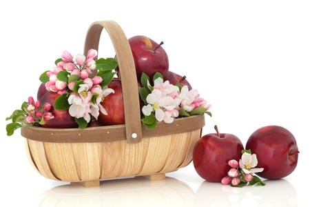 Red apples in a rustic wooden basket with spring flower blossom leaf sprigs isolated over white background. Empire variety.