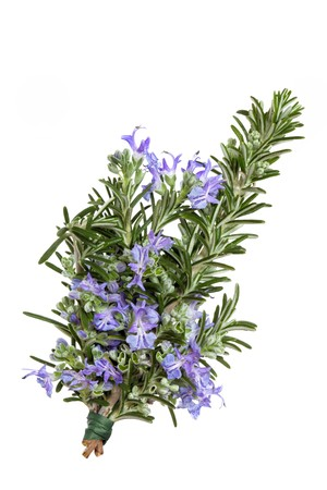Rosemary herb leaf sprig in flower isolated over white background. Rosmarinus.