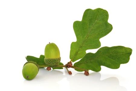 Oak leaf sprig with acorns isolated over white background. photo