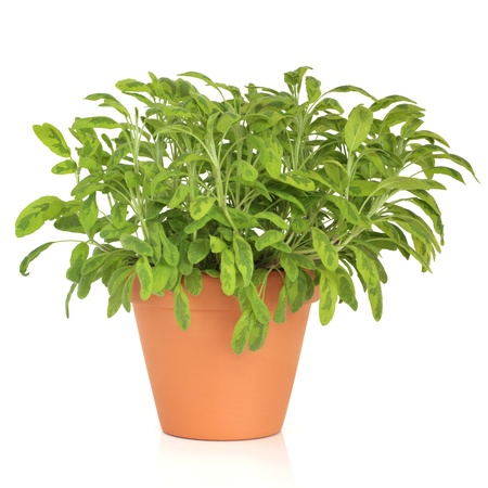 white salvia: Variegated sage herb plant growing in a terracotta pot isolated over white background. Salvia.