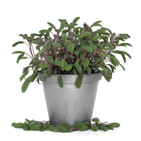 saliva: Purple sage herb plant growing in a distressed pewter pot and scattered, isolated over white background. Saliva. Stock Photo