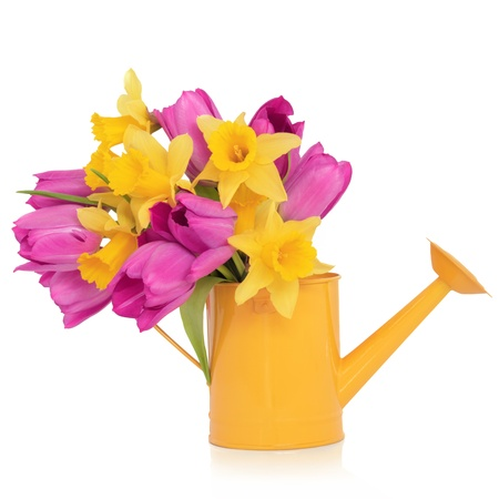 purple metal:  Daffodil and purple tulip flowers in a yellow metal watering can,  isolated over white background. Stock Photo