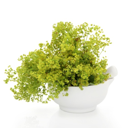 alchemilla: Ladys mantle herb in a porcelain mortar with pestle, over white background. Alchemilla