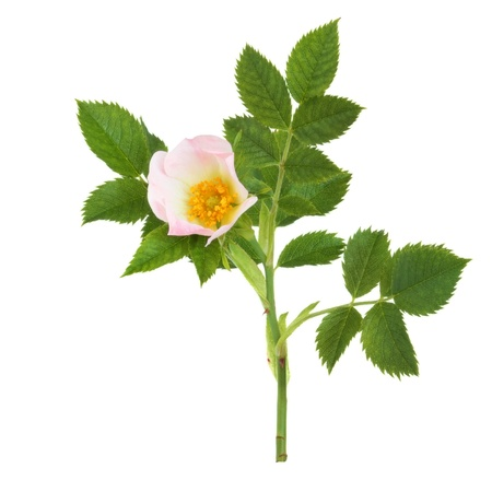 wild rose: Wild rose in flower isolated over white background. Rosa acicularis