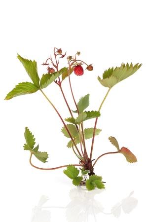 Planta de fresa salvaje a dar sus frutos y con ra�ces expuestos, aisladas sobre fondo blanco con reflexi�n. Foto de archivo - 9282060